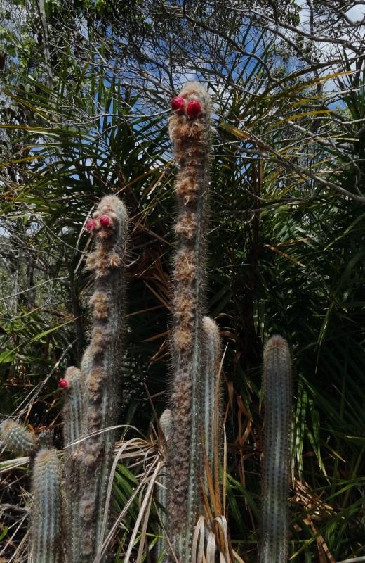 Flor do Cacto na trilha da Cachoeira do Buracão