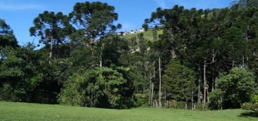 Araucárias em Visconde de Mauá