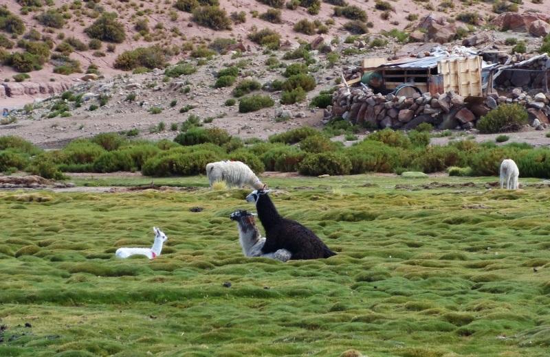 Família de lhamas no deserto do atacama