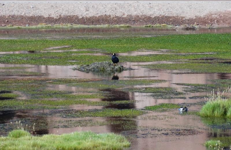 Patos Andinos no Rio Putana, Atacama