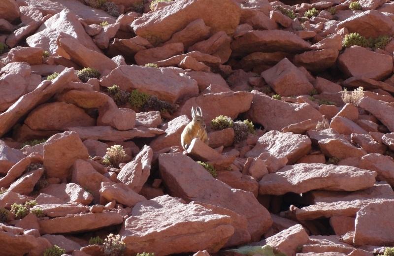 Viscacha no Deserto do Atacama
