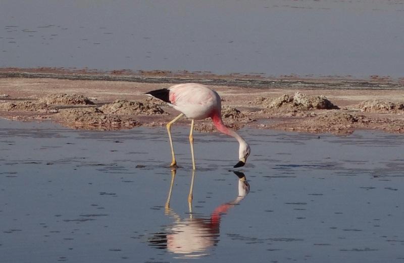 Flamingos na Laguna Chaxa, Salar de Atacama