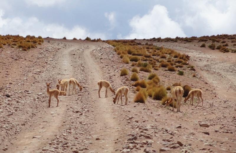 Vicuñas na Cordilheira dos Andes