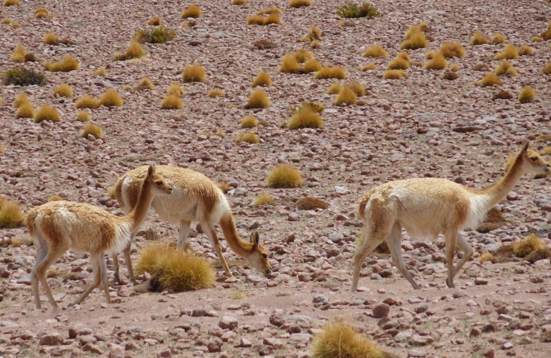Vicuñas no Altiplano Boliviano