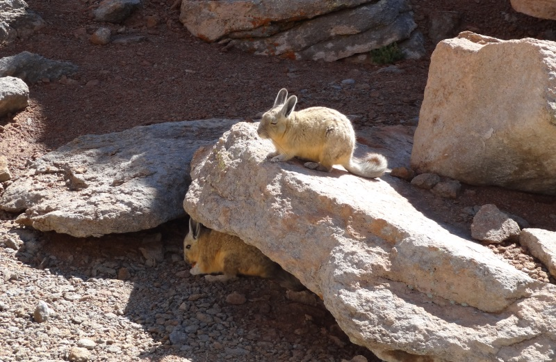 Viscacha, lebre dos Andes na Bolivia