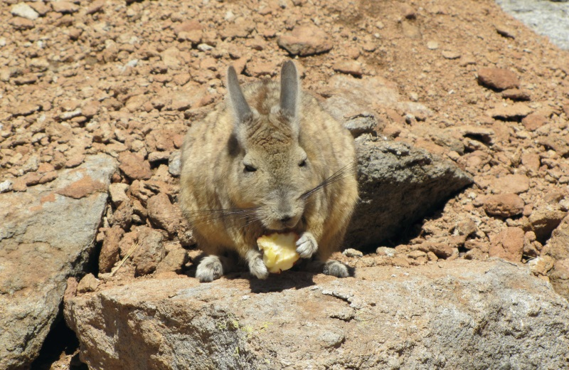 Viscacha, lebre Andina na Bolivia