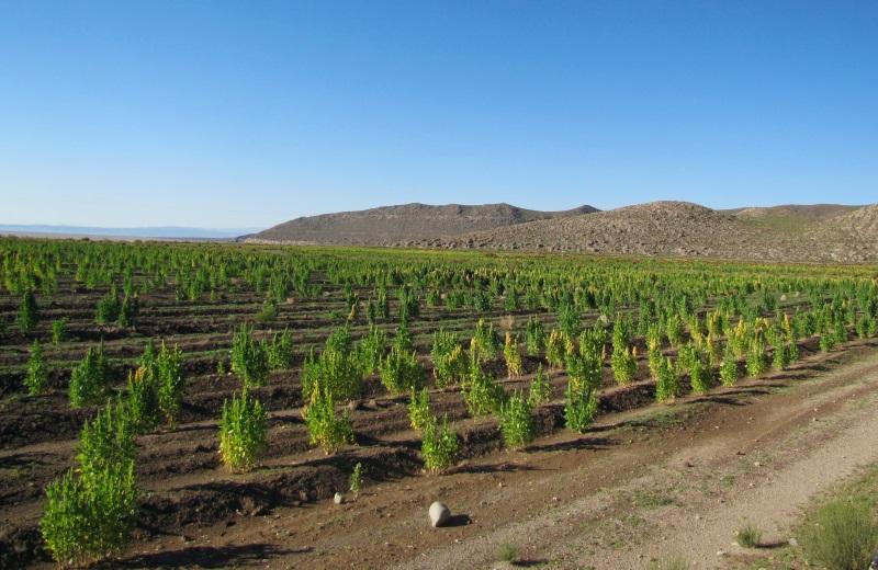 Plantação de quinoa na Bolívia, no tour ao Salar de Uyuni