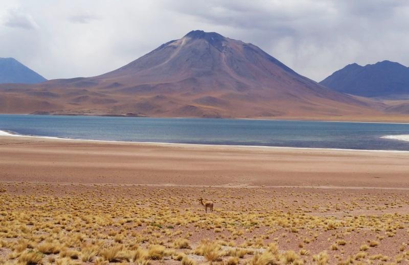 Vicuña na Laguna Miscanti, Deserto do Atacama