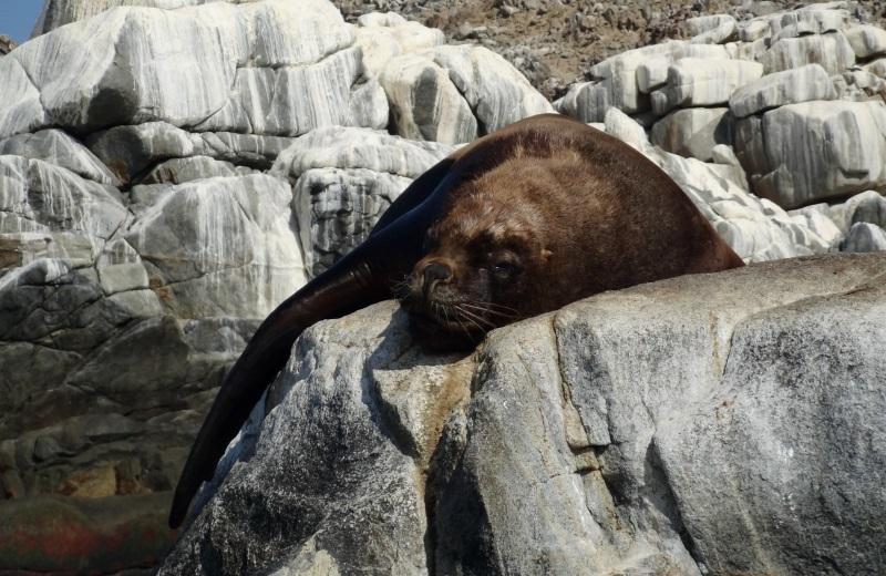 Lobo Marinho na Isla Pan de Azucar, Chile