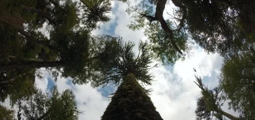 Araucanía no Parque Nacional Huerquehue, em Pucón