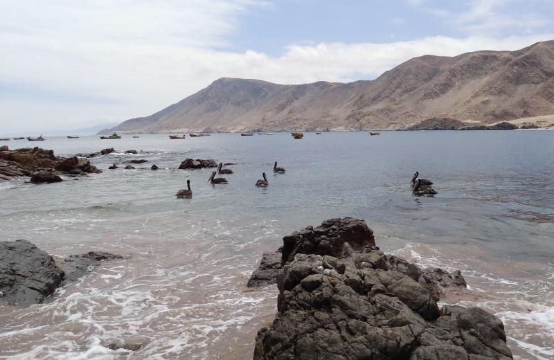 Pelicanos no Parque Pan de Azucar, Chile