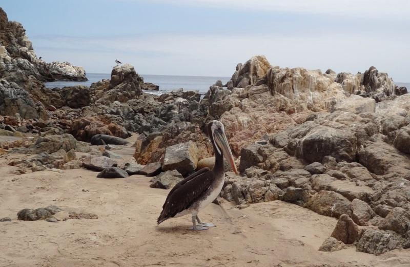 Pelicano no Parque Pan de Azucar, Chile