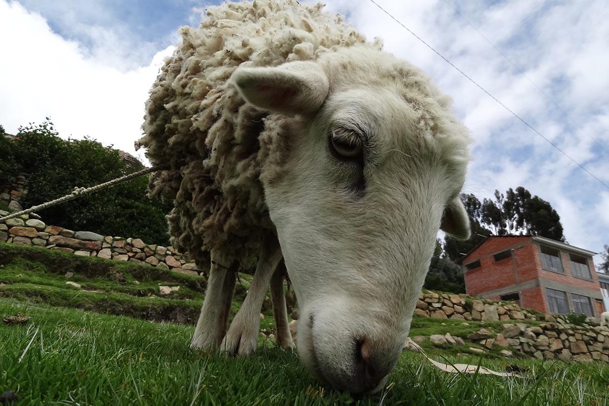 Ovelha em povoado da Isla de Sol, Bolívia