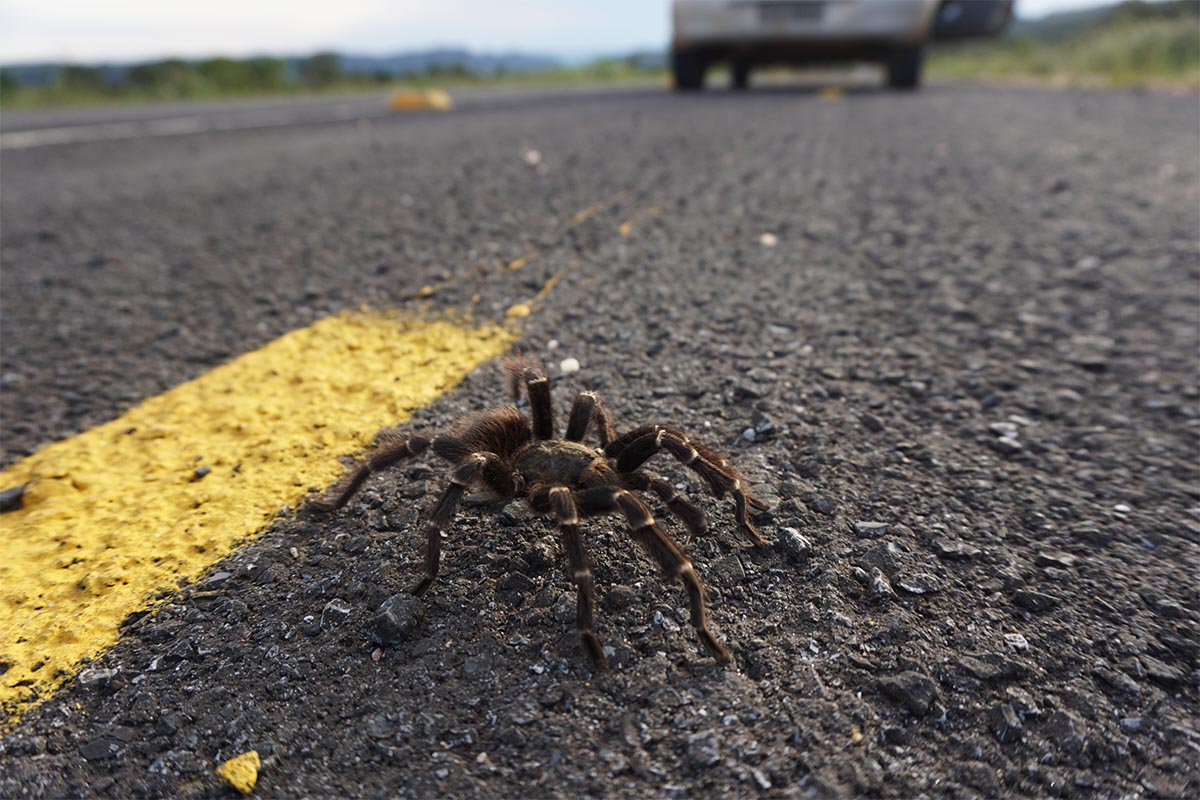 Aranha na estrada para São Jorge, Chapada dos Veadeiros