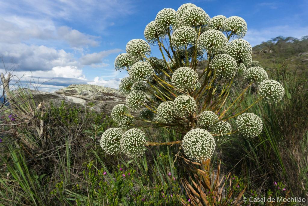 Sempre-Viva, flor típica da região durante a Travessia Lapinha x Tabuleiro em Minas Gerais